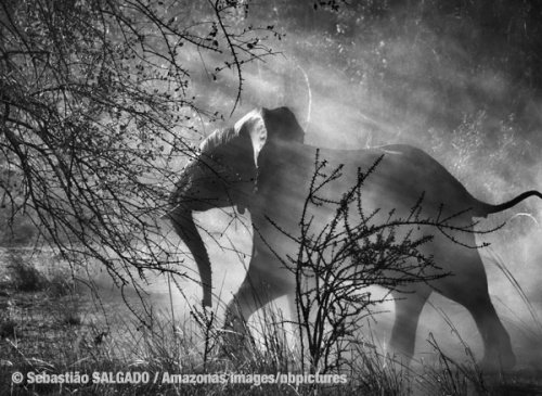 Since elephants are hunted by poachers in Zambia, they are scared of humans and vehicles. Alarmed when they see an approaching car, they usually run quickly into the bush.  Kafue National Park. Zambia. July and August 2010. Photo: © Sebastião SALGADO / Amazonas images/nbpictures