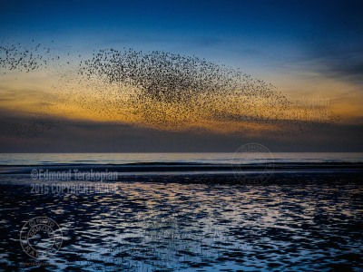 A murmuration of starlings at dusk, just after the sunset at the beach in Blackpool, Lancashire, United Kingdom. March 10, 2015. Photo: ©Edmond Terakopian