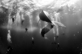 Whale Whisperers. Divers observe and surround a humpback whale and her newborn calf whilst they swim around Roca Partida in the Revillagigedo Islands, Mexico, 28 January 2015. Anuar Patjane Floriuk